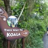 Singapore zoo koala 01