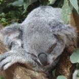Singapore zoo koala 05