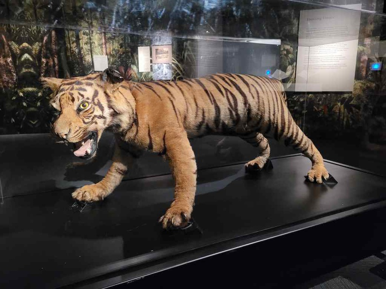 Malayan tigers were a nuisance for early plantations, sadly given loss of their natural habitat where they start attacking plantation workers
