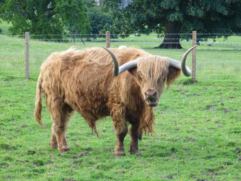 A Highland Hamish cow native in Scotland