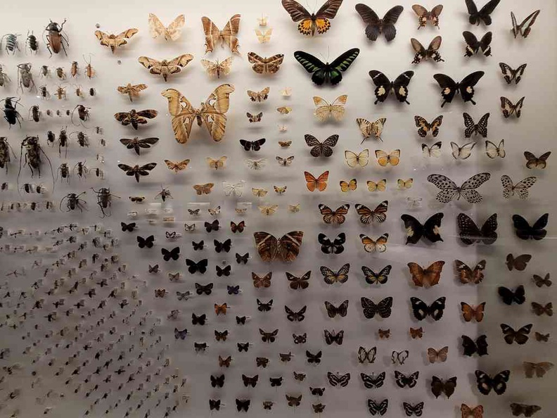 Lee Kong Chian Natural History Museum The insect section, with a selection of bugs, roaches and lots of butterflies