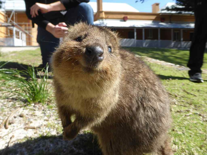 One of the main reasons to visit Rottnest is to see the adorable native Quokkas. There are ton loads of them on the island given the lack of natural predators