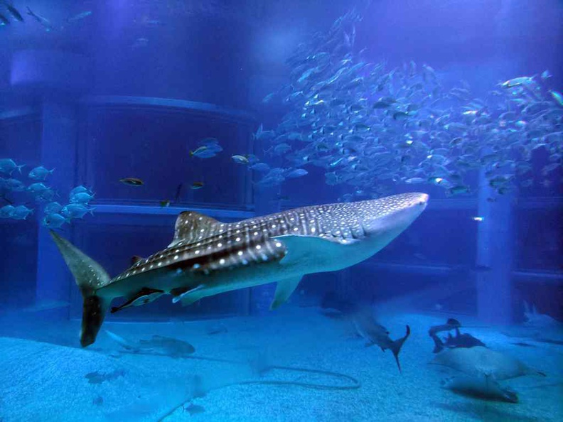 The whale shark is a highlight and showboy of the Osaka Aquarium Kaiyukan